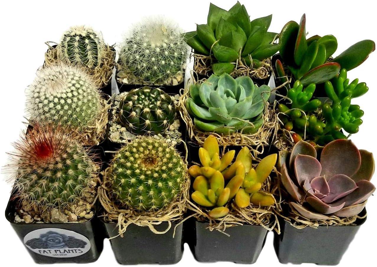 Fat Plants San Diego Miniature Flowering Cactus and Succulent Plant Collection (12)