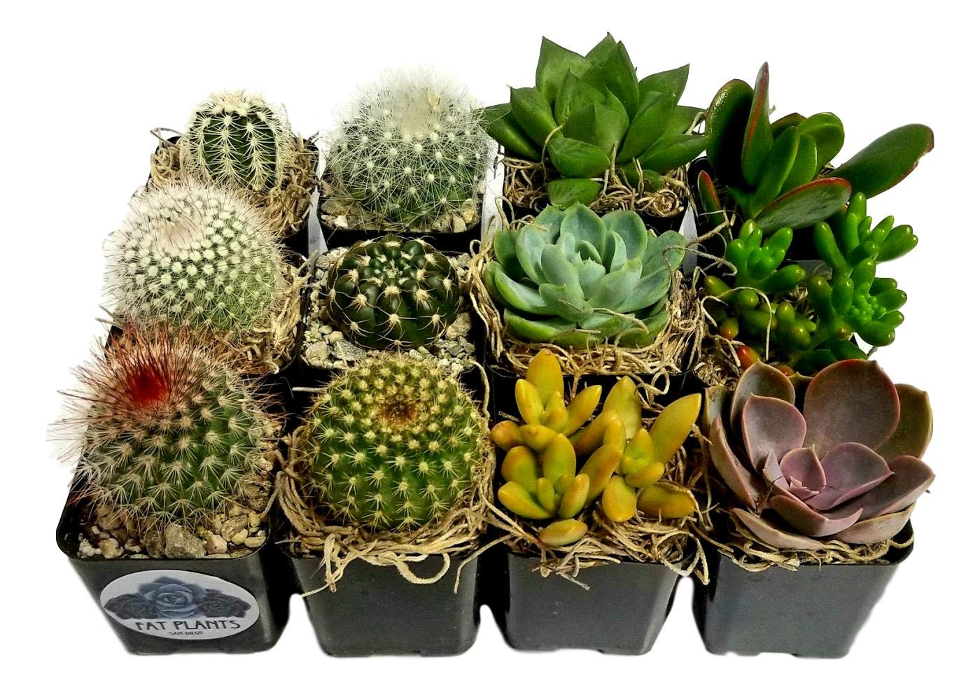 Fat Plants San Diego Miniature Flowering Cactus and Succulent Plant Collection (12) by Fat Plants San Diego