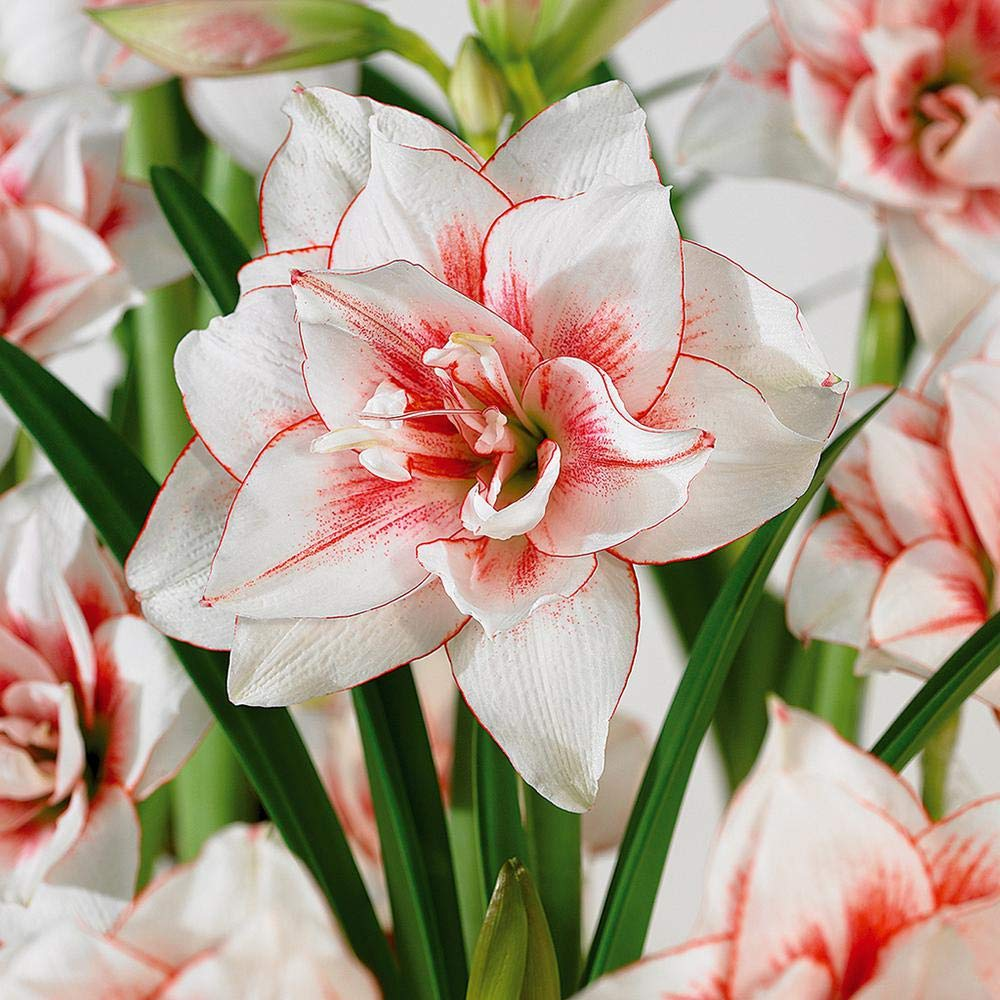 MAALI AGRO | Amaryllis (Belladonna Lily/Jersey Lily/Naked Lady/Amarillo,  Easter Lily) | Flower Bulbs (Not Seeds) | Indoor/Outdoor Garden | Mix  Colors | Pack ...