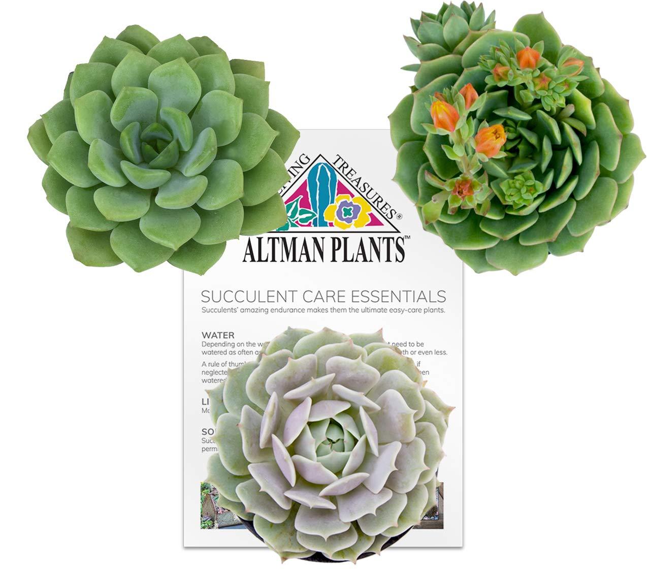 Altman Plants Assorted Live Succulents Flowering Rosette Collection Echeveria, sedeveria, perfect for party favors and arrangements, 3.5'', 3 Pack