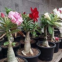 Obesum semillas, 200pcs / bag Rose Hardy Semillas Aromático tolerante a la sequía para interior-exterior plántulas de…