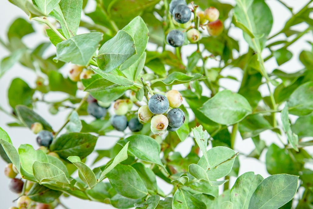 Perfect Plants Powder Blue Blueberry Live Plant, 1 Gallon, Includes Care Guide by PERFECT PLANTS (Image #7)