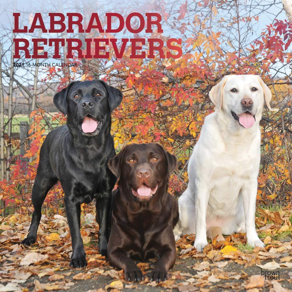 Mit 2021 Calendar Labrador Retrievers 2021 Square Wall Calendar: Original BrownTrout