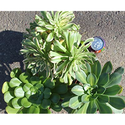Lot of 3 Very Large Aeonium Succulents Succulent Plants : Garden & Outdoor