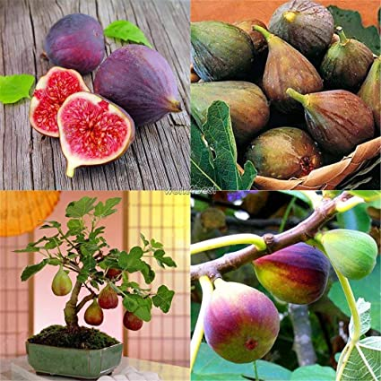 Amazon com : purple0pcs fig Tropical Seeds ficus carica Seeds Bonsai