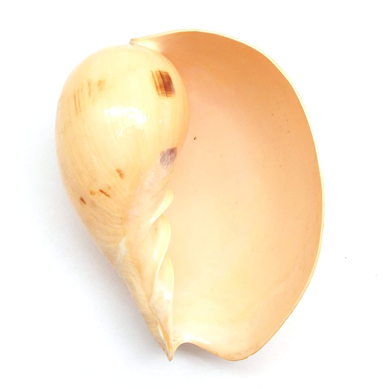 PEPPERLONELY 12PC Turbo Stripe Sea Shell 1-1//4 Inch ~ 1-1//2 Inch Hermit Crab Sea Shells