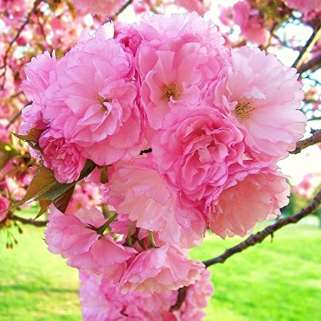 Amazon Com 3 Kwanzan Weeping Cherry Tree Pink Flowering Trees