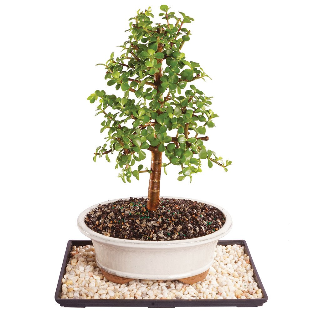 Brussel's Live Dwarf Jade Indoor Bonsai Tree - 8 Years Old; 10'' to 14'' Tall with Decorative Container, Humidity Tray & Deco Rock by Brussel's Bonsai (Image #1)