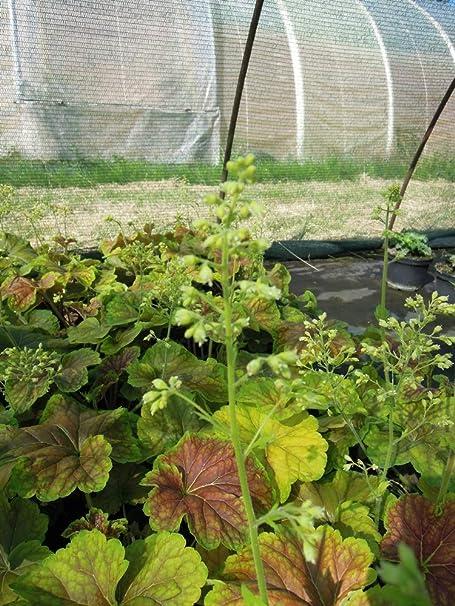 Spath Staude Garten Purpurglockchen Delta Dawn Weiss Bluhend Stauden Winterhart Mehrjahrig Im 3 Liter Topf Amazon De Garten