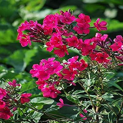 Perennial Farm Marketplace Phlox paniculata 'Starfire' (Summer) Perennial, Size-#1 Container, Crimson Red Flowers : Garden & Outdoor