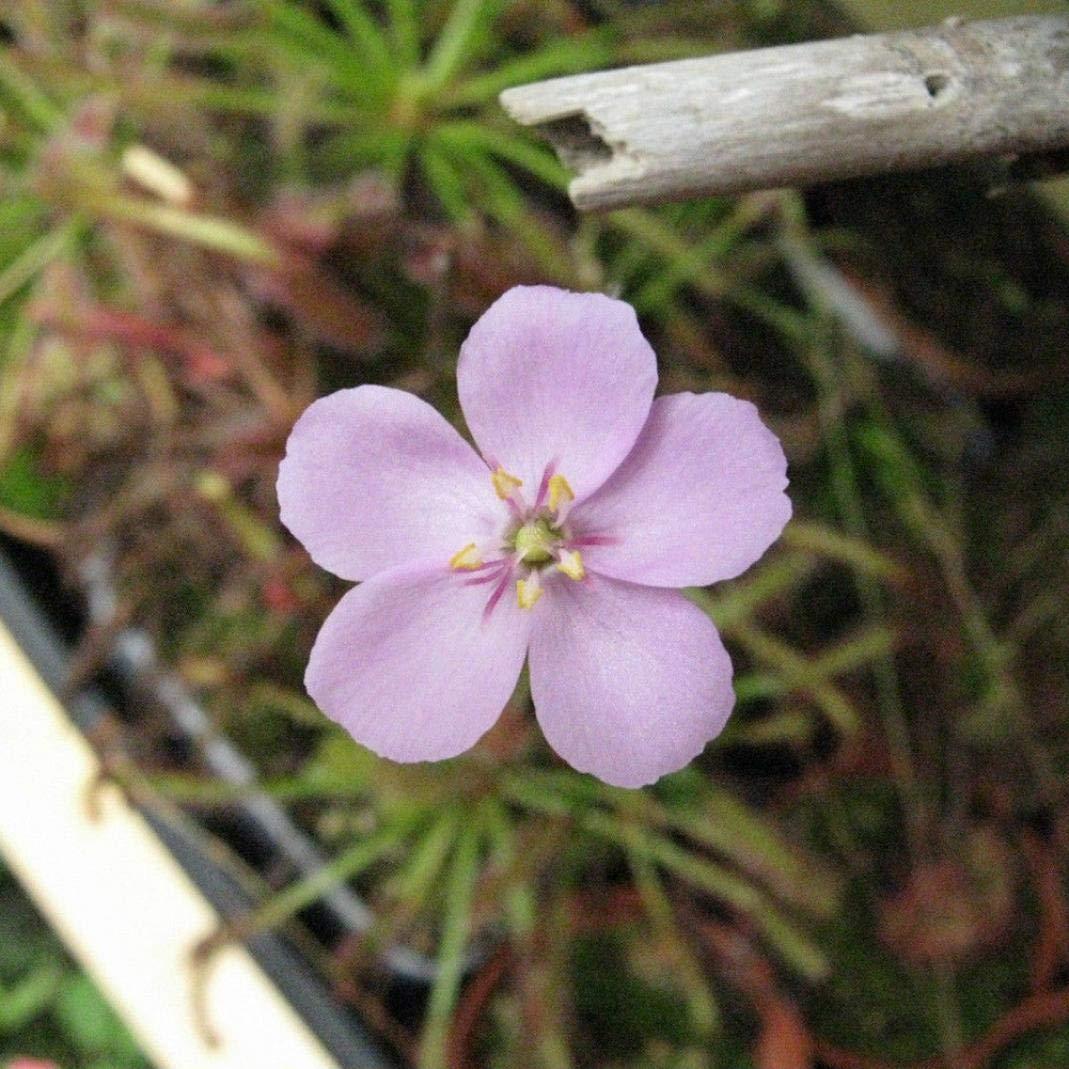Belarn 100 St/ücke Fleischfressende Garten Gras Samen Pflanze Bonsai Garten Balkon Gartendekoration Topfpflanze