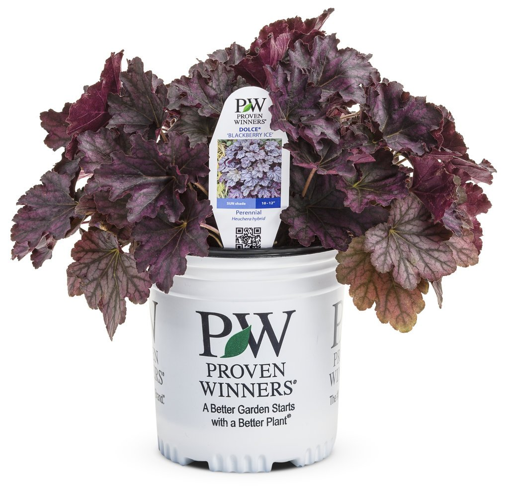 Dolce Blackberry Ice Coral Bells (Heuchera) Live Plant, Purple-Black Foliage, 0.65 Gallon by Proven Winners