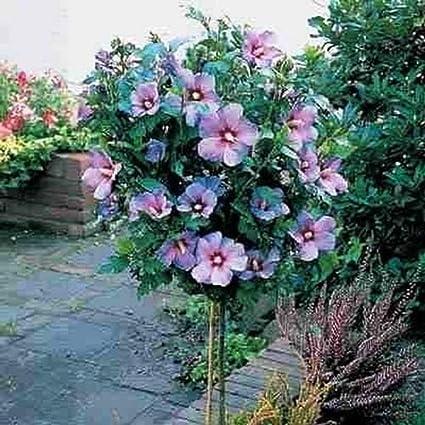 Amazoncom Rose Of Sharon Tree Hibiscus Syriacus 1 To 2 Feet Tall