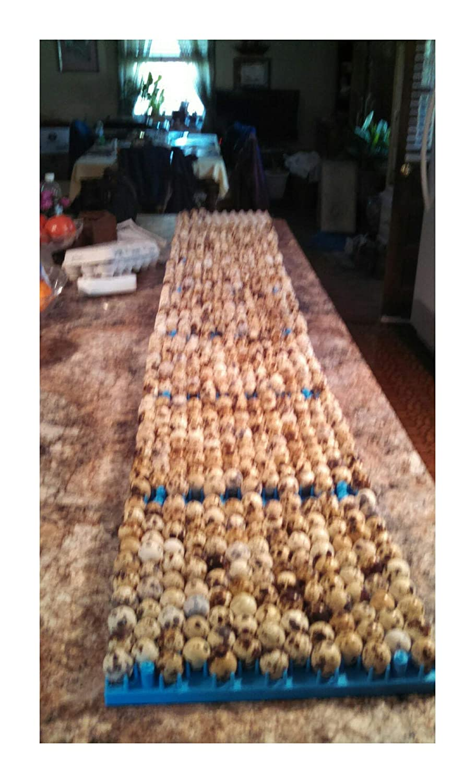 100 coturnix extras Farm fresh jumbo brown quail eggs for hatching