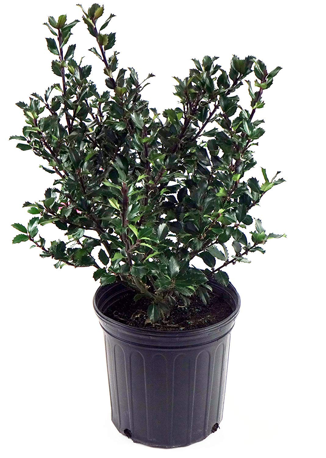 Ilex X meserveae 'Blue Prince' (Blue Holly) Evergreen, #2 - Size Container by Green Promise Farms