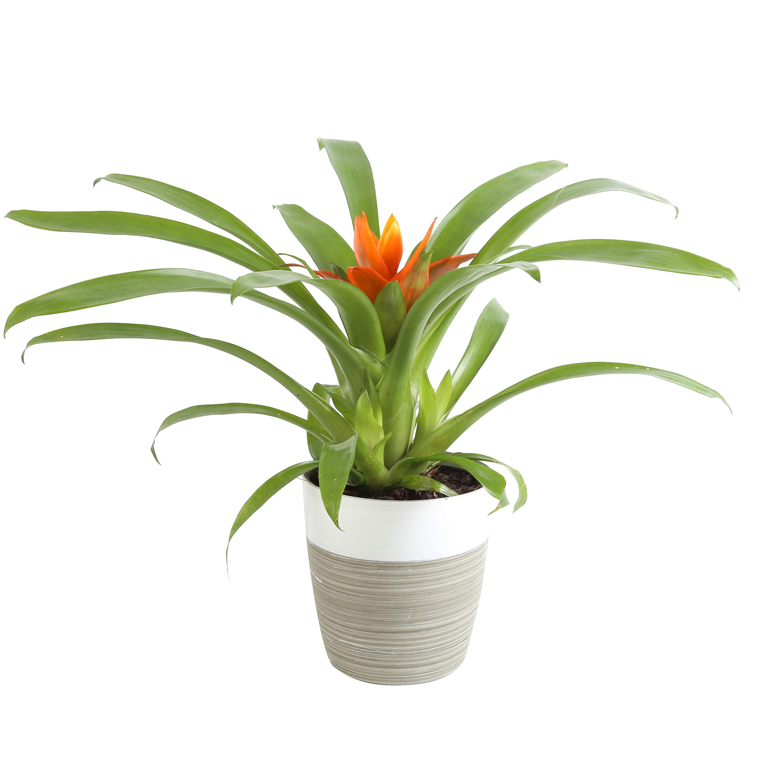 Costa Farms Flowering Bromeliad Indoor Plant Color - Grower's Choice 12-Inches Tall White-Neutral Décor Planter by Costa Farms (Image #1)