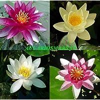 Desconocido Planta DE Estanque. 4 Tipos DE NENUFAR