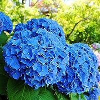 Rosepoem Hermosas semillas de hortensias La siembra es simple Flores románticas para el hogar y plantación de jardín…