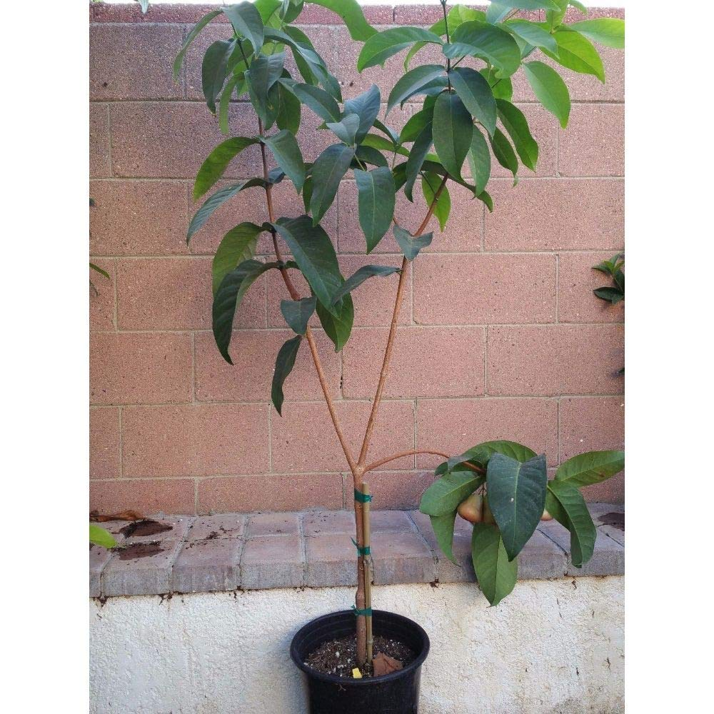 Wax Jambu Tropical Fruit Trees 5 Feet Height in 5 Gallon Pot #BS1 by iniloplant (Image #1)
