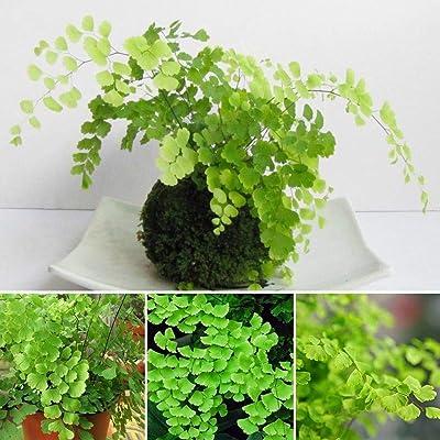 100Pcs Fern Seeds Indoor Maidenhair Adiantum Plants Capillus : Garden & Outdoor