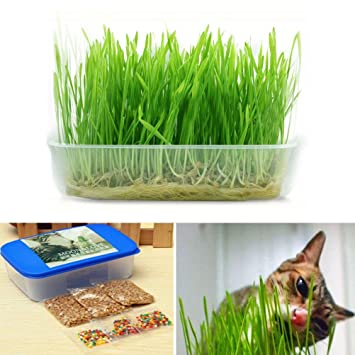 1 Ajuste pequeñas semillas de trigo hierba gatera gatito hierba bonsai semillas de la hierba gatito con fango de la flor de cristal: Amazon.es: Jardín