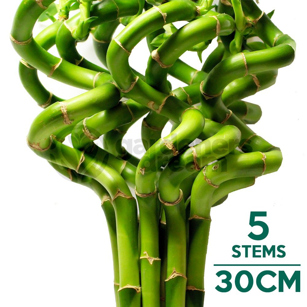 30cm Lucky Bamboo - 5 Spiral Stems - Indoor Plant Pot Garden Windowsill Bowl GardenersDream
