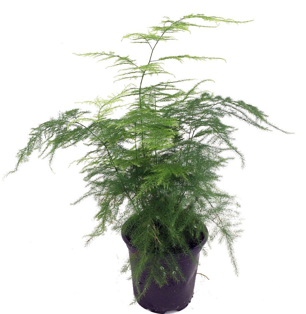 Fern Leaf Plumosus Asparagus Fern 4 Pot Easy To Grow Great Houseplant Amazon Com Grocery Gourmet Food