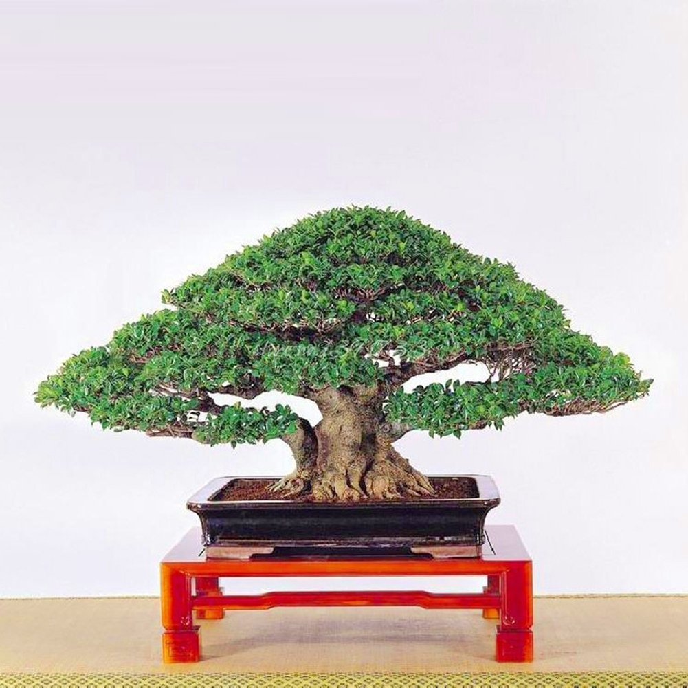 Homeofying 50Pcs Chinese Ficus Tree Seeds Roots Bonsai Banyan Garden Outdoor Woody Plant