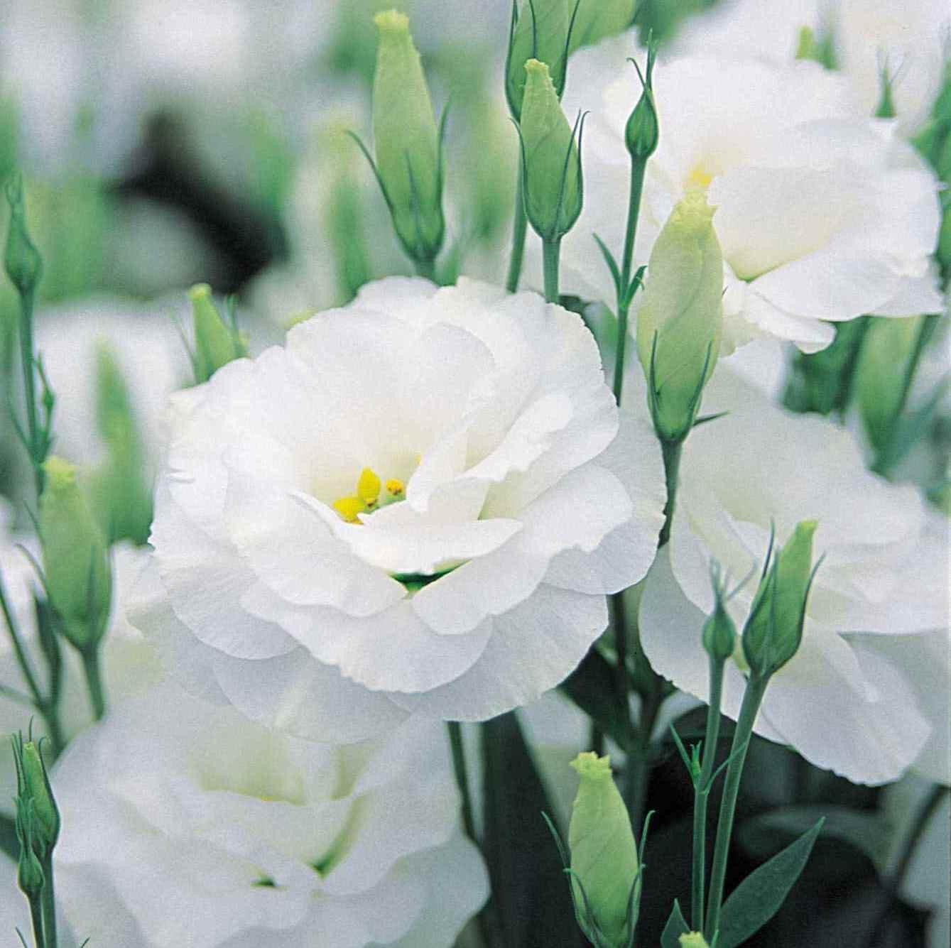 """(PLIS)~""""SAPPHIRE WHITE"""" LISIANTHUS~Seeds!!!~~~~~So Pretty!!"""