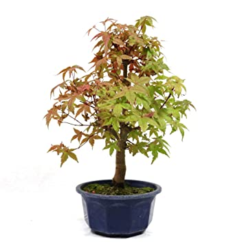 Japanese Maple Acer Palmatum Deshojo Outdoor Bonsai 10 Years