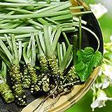 源流生わさび 約250g(1~2本/葉・茎付き/うち本茎は約100g) / 直接法栽培 / 栽培期間中農薬不使用