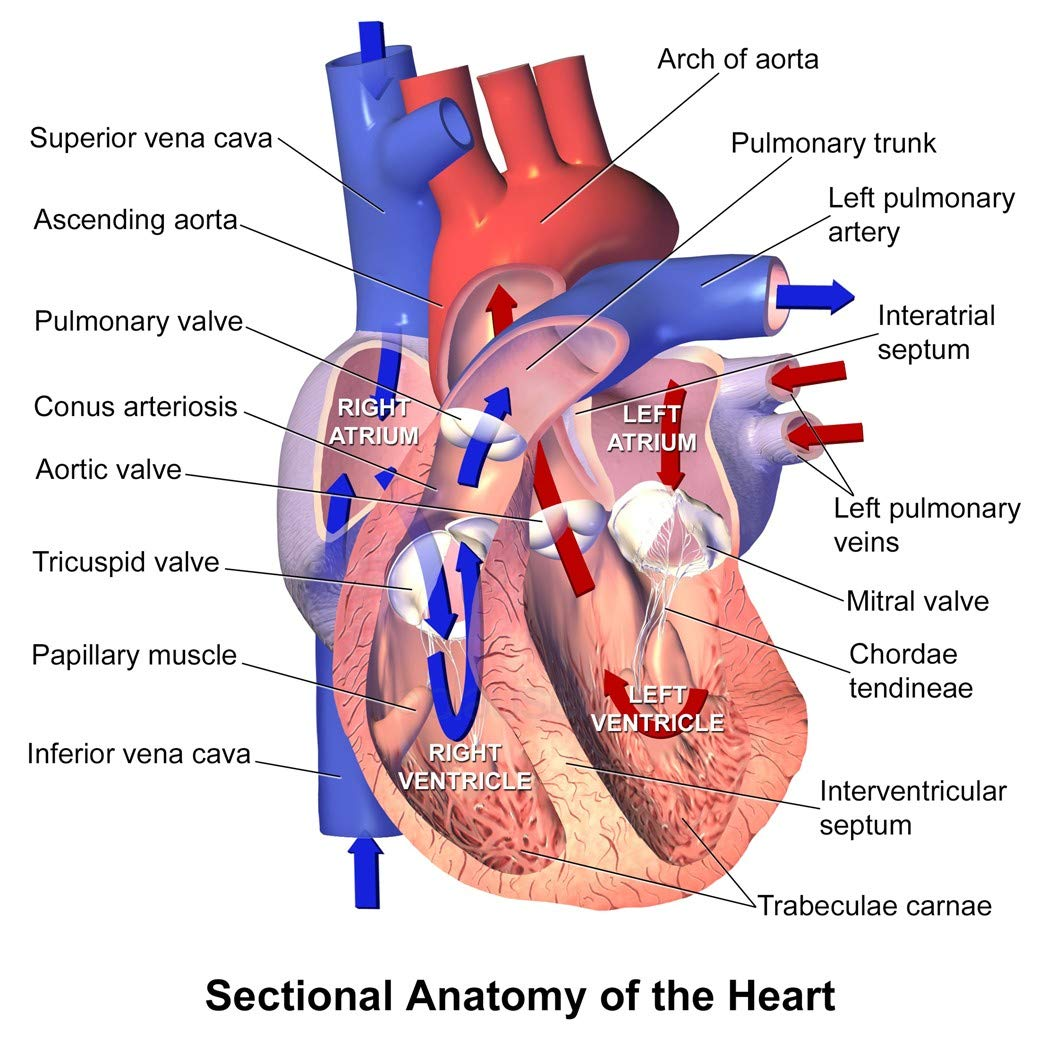 Amazon Human Heart Anatomy Medical Poster 24 X 24 Posters