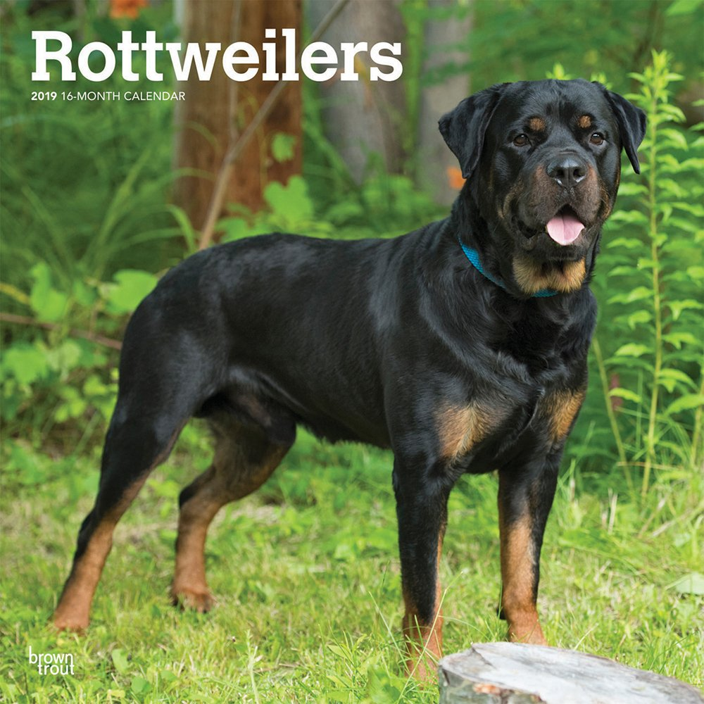 Rottweilers 2019 12 x 12 Inch Monthly Square Wall Calendar, Animals Dog Breeds