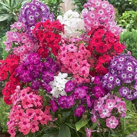 30 Perennial Fragrant Pink Lavender Flower Seeds