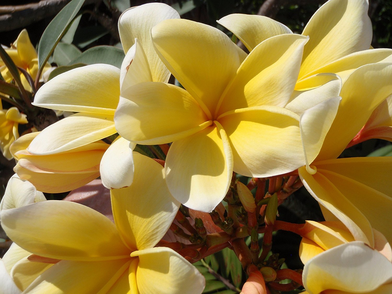 silk flower arrangements 1 hawaii yellow frangipani plumeria unrooted slip