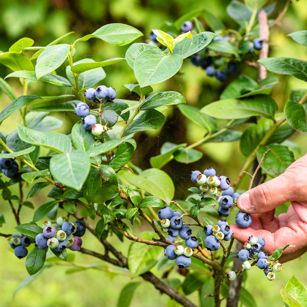 Perfect Plants Tifblue Blueberry Live Plant, 1 Gallon, Includes Care Guide by PERFECT PLANTS (Image #5)