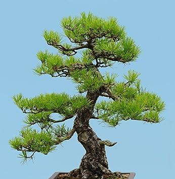 Pinus Thunbergii 10 Samen Japanisch Schwarz Kiefer