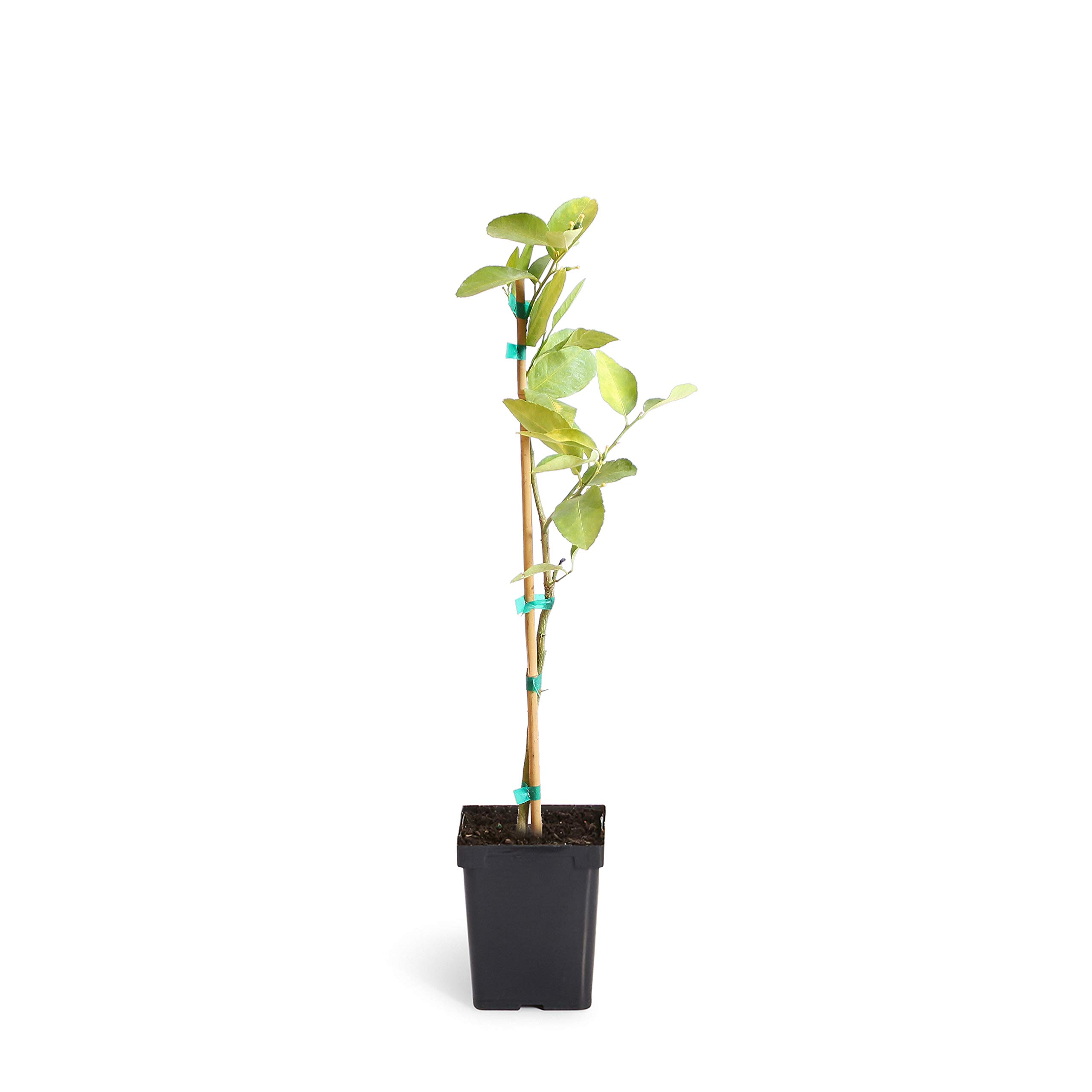 Persian Lime Tree - 1-2 ft.