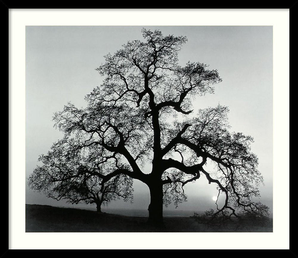 Framed Art Print, 'Oak Tree, Sunset City, California, 1962' by Ansel Adams: Outer Size 27 x 23'' by Amanti Art