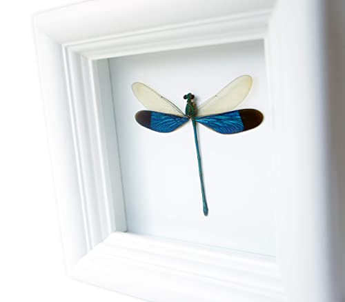 Real Dragonfly Insect Display Taxidermy Art