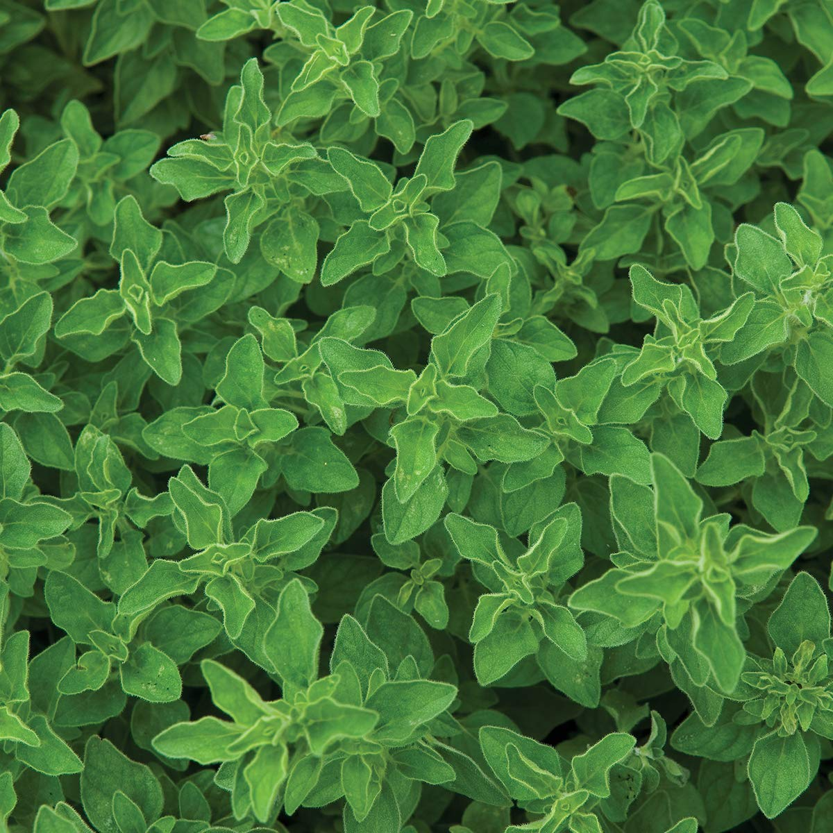 Burpee Greek' Oregano 3 Live Plants, 2 1/2'' Pot by Burpee (Image #1)