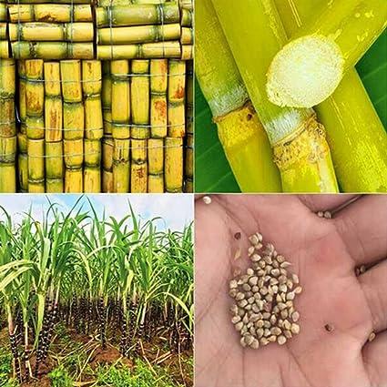 Amazon com : longdelaY6 Sugarcane Seed£¬100 Pcs Sugarcane Seeds