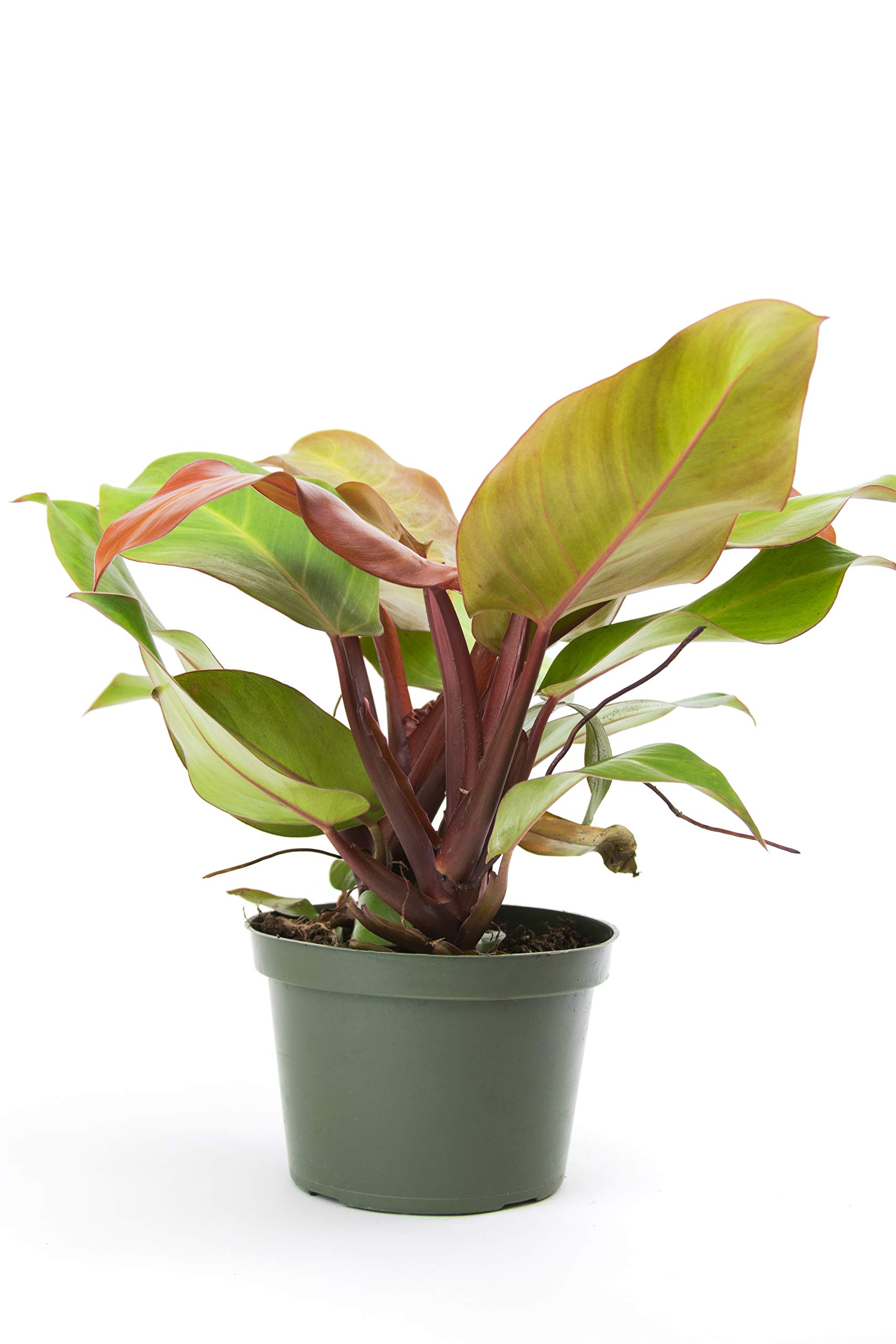 Burpee's 'McColley's Finale' Philodendron | Indirect Low-Medium Light, Easy Care House Plant | 6'' Pot