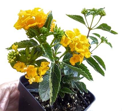 Amazoncom Lantana Plants Gold Lantana In 25 Inch Pot Garden