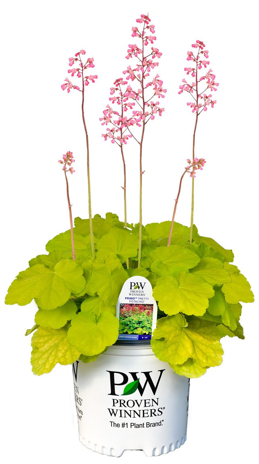 Primo Pretty Pistachio Coral Bells (Heuchera) Live Plant, Green Foliageand Pink Flowers, 0.65 Gallon