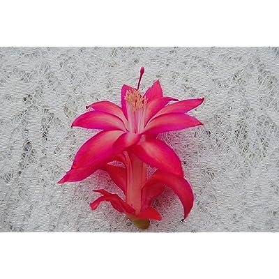 AchmadAnam Cactus Starter Plant ~Paradise Lady~ Schlumbergera : Garden & Outdoor