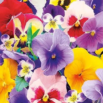 20 Servietten Blumen Pansies Stiefmütterchen weiß Frühling Ostern Deko 33x33cm