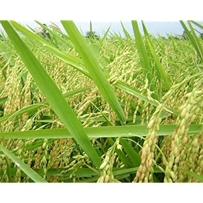 1 oz (~1.000 Seeds) of Rex Long Grain Rice Heirloom Non GMO Garden Vegetable Crop : Garden & Outdoor