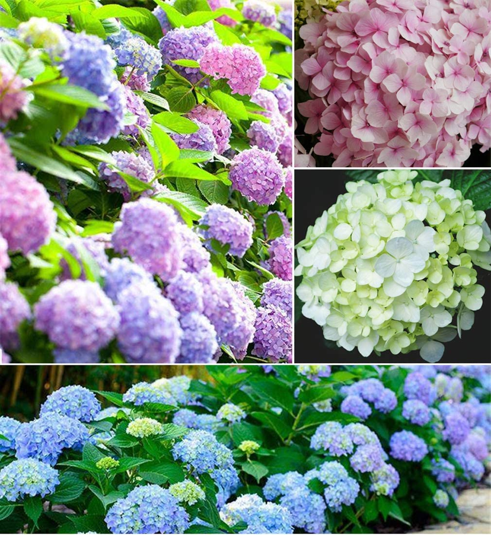 20+ Mixed Hydrangea Seeds Flowers Bush Plants Beautiful Smell Garden Decor Home Perennial