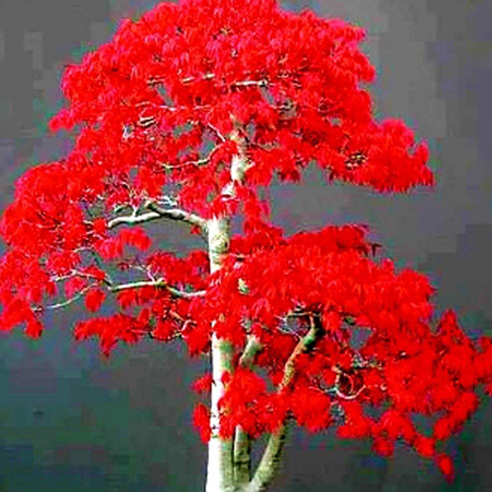 メープル種子中国盆栽メープルツリー種子盆栽植物花植木鉢用植木鉢、青/赤(20個、#1) B07D4D21PV